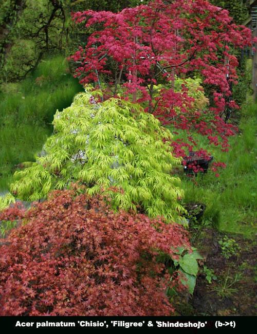 River Rock Nursery Anese Vine Maple Availability Acer Palmatum Circinatum Oni